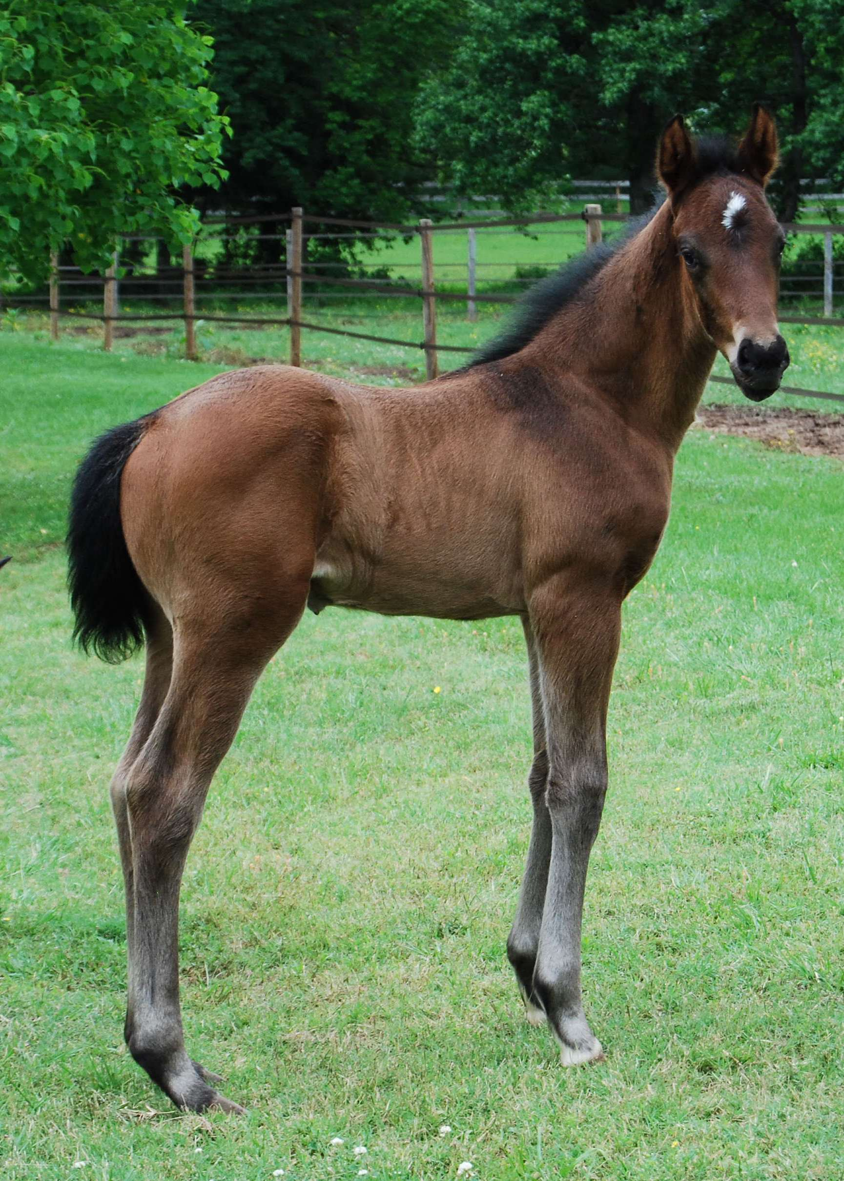 Solitaire - bay hanoverian colt